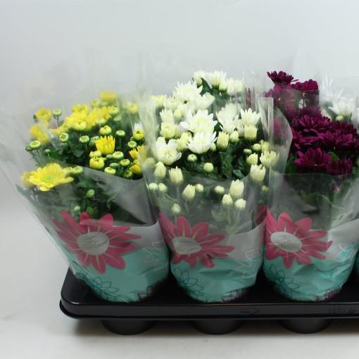 Chrysanthemum BREEZE MIX (Gebr Nederpel Potplanten)