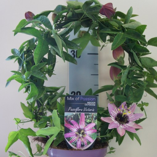 Passiflora 'Victoria' (Plantcare BVBA)