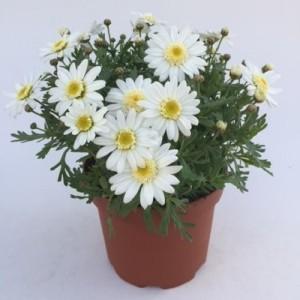 Argyranthemum frutescens (Green Collect Sales)