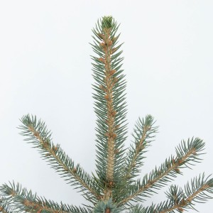 Picea pungens 'Glauca' (Bremmer Boomkwekerijen)