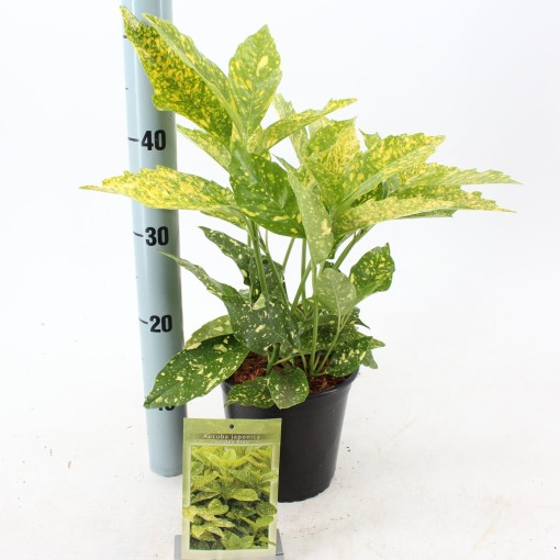 Aucuba japonica 'Golden King' (About Plants Zundert BV)