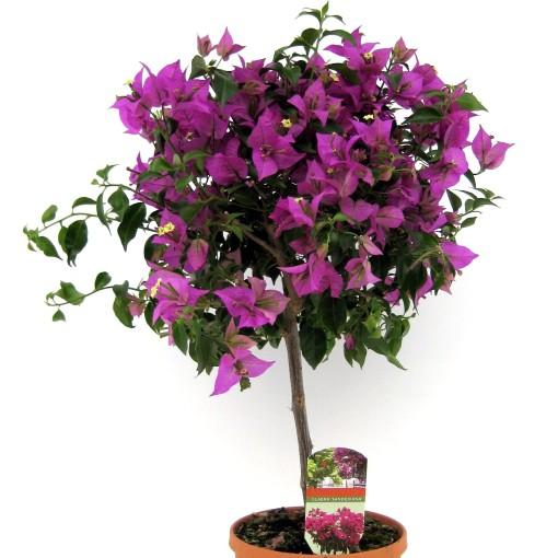 Bougainvillea glabra 'Sanderiana' (Luiten kwekerij)