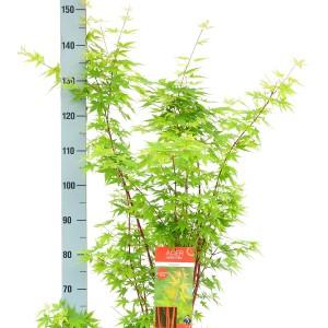Acer palmatum 'Sangokaku' (Son & Koot BV)