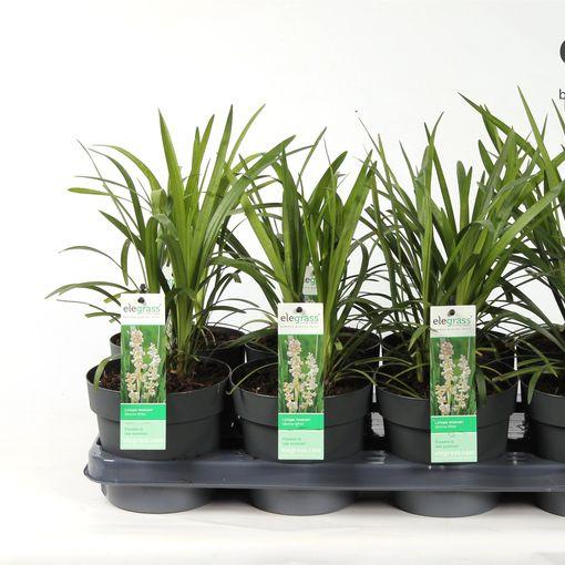 Liriope muscari 'Monroe White' (Hoogeveen Plants)