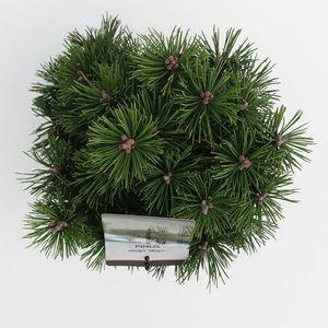 Pinus mugo 'Mops' (Bremmer Boomkwekerijen)
