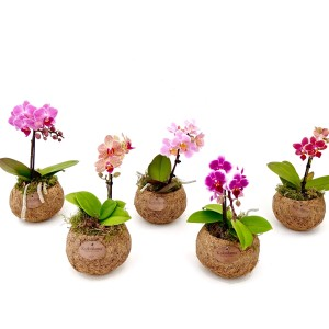 Phalaenopsis MIX