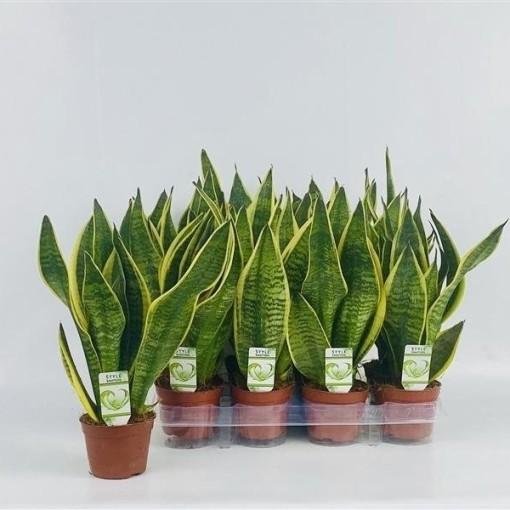 Sansevieria trifasciata 'Futura Superba' (Westland Plant)