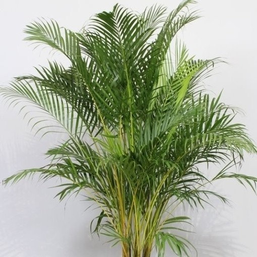 Dypsis lutescens (Fachjan)