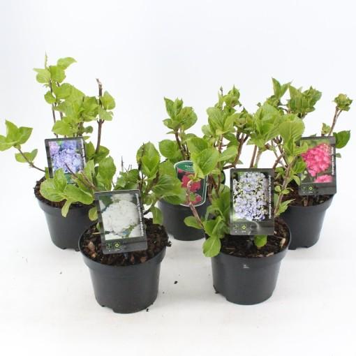 Hydrangea macrophylla MIX (About Plants Zundert BV)