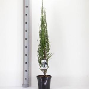 Juniperus scopulorum 'Blue Arrow' (Bremmer Boomkwekerijen)