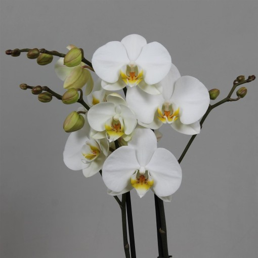 Phalaenopsis ANTHURA LONDON (Leerdam Orchideeën)