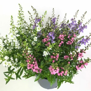 Angelonia angustifolia MIX IN POT
