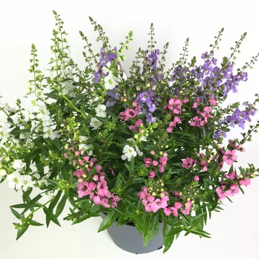 Angelonia angustifolia MIX IN POT (Experts in Green)