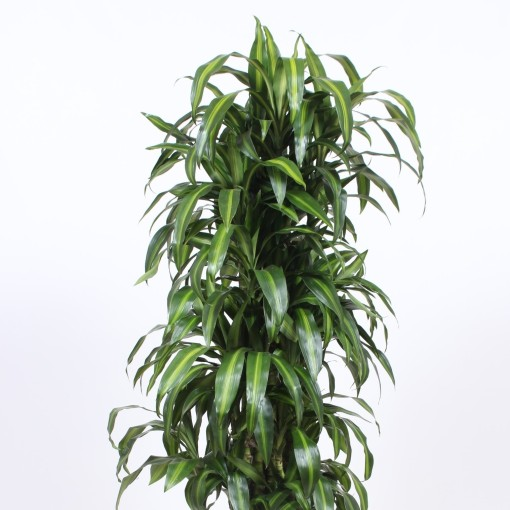 Dracaena fragrans 'Hawaiian Sunshine' (Fachjan)