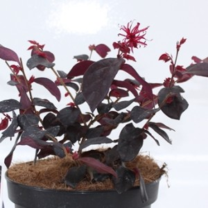 Loropetalum chinense EVER RED (About Plants Zundert BV)