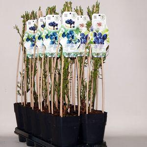 Vaccinium corymbosum MIX (BOGREEN Outdoor Plants)