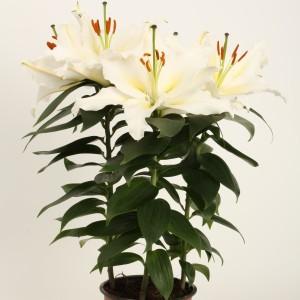 Lilium 'Sunny Azores' (Wetering Potlilium)