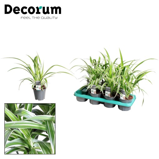 Chlorophytum comosum (JoGrow B.V.)