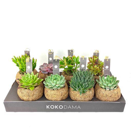 Succulents MIX (Kokodama)