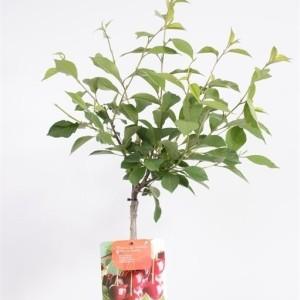 Prunus cerasus MOREL