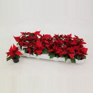 Euphorbia pulcherrima CHRISTMAS FEELINGS MERLOT