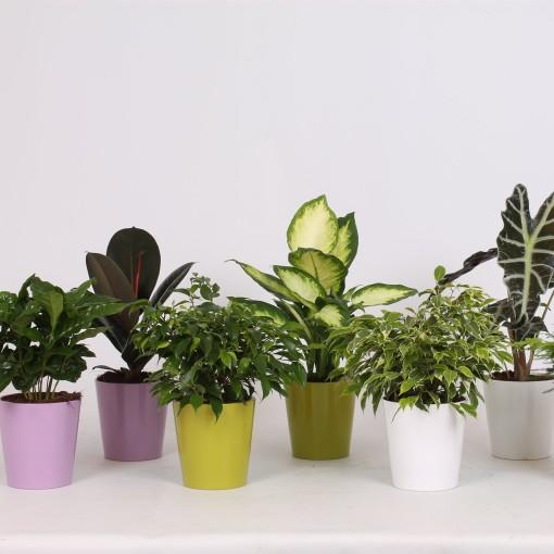 Houseplants MIX (Groot BV, Kwekerij J. de)