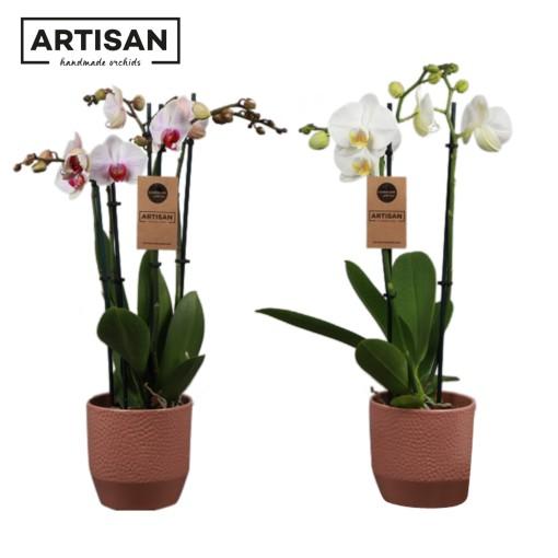 Phalaenopsis MIX (Artisan BV)