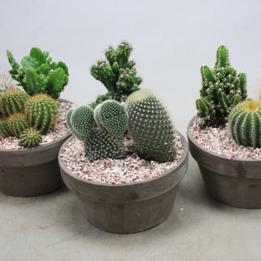 Arrangements Cactus P17 Cm H22 Cm Plant Wholesale Floraccess