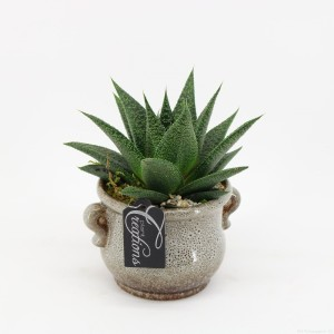 Arrangements Haworthia