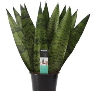 Sansevieria zeylanica