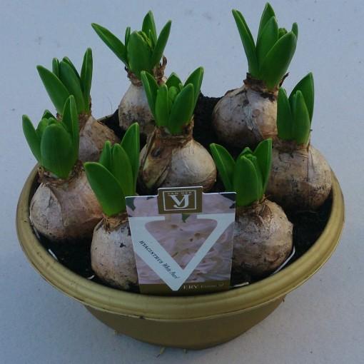 Hyacinthus orientalis 'White Pearl' (J.H van der Vossen B.V.)