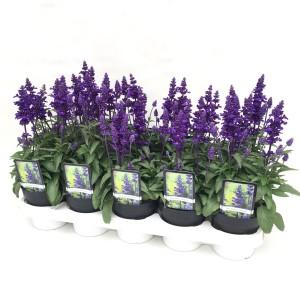 Salvia farinacea 'Farina Blue'