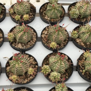 Euphorbia meloformis 'Variegata' (Giromagi)
