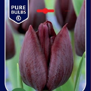Tulipa 'Ronaldo'