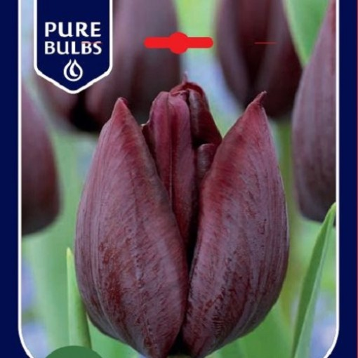 Tulipa 'Ronaldo' (Bosrand, Kwekerij de)