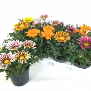 Gazania KISS MIX (Experts in Green)