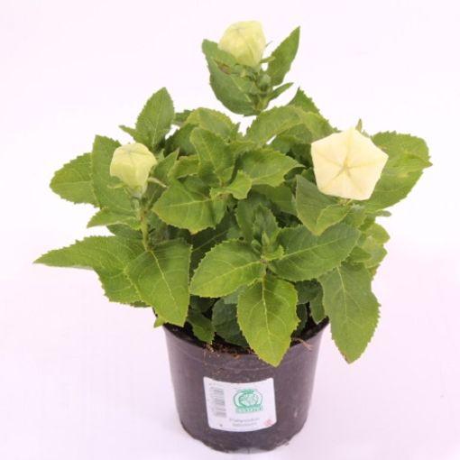 Platycodon grandiflorus 'Astra White' (Experts in Green)