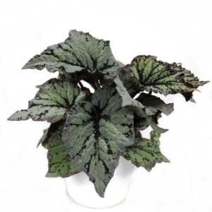 Begonia 'King's Spirit'