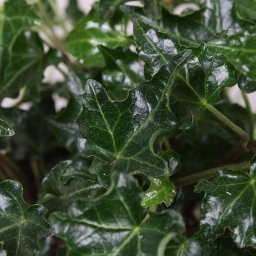 Hedera helix 'Ivalace' (Vireõ Plant Sales)