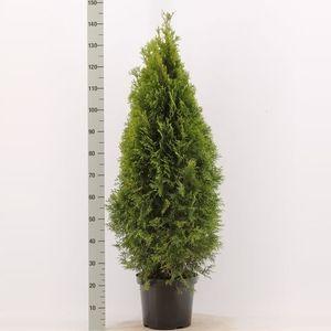 Thuja occidentalis 'Smaragd' (De Buurte Kwekerijen)
