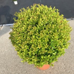 Ilex Crenata Golden Gem P26cm H30cm Floraccess Wholesale Of Plants