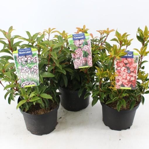 Kalmia latifolia MIX (About Plants Zundert BV)