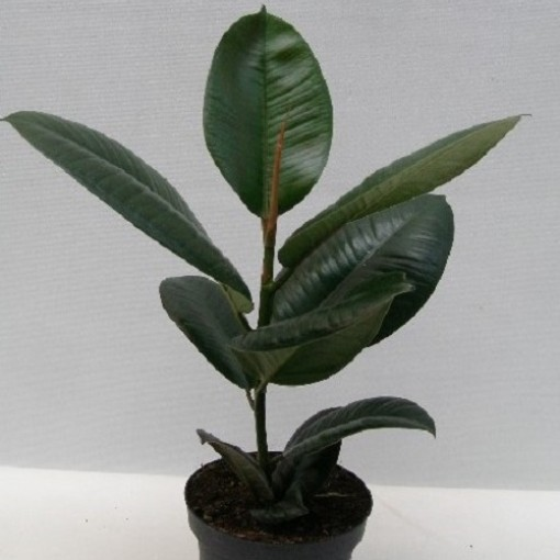Ficus elastica 'Robusta' (Gasa DK)