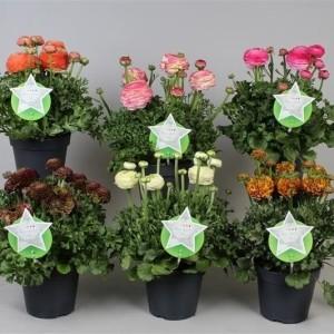 Ranunculus asiaticus SUCCESS MIX (Vreugdenhil Bulbs & Plants)
