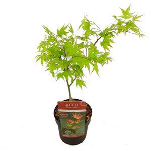 Acer palmatum 'Tsumagaki'
