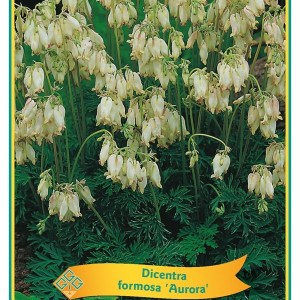 Dicentra formosa MIX (Griffioen, Gebr.)