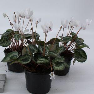 Cyclamen hederifolium 'Amazeme White' (About Plants Zundert BV)