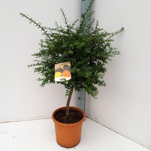 Citrus australasica (Specials-1)