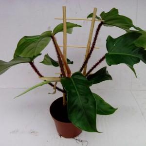 Philodendron squamiferum (Gasa DK)