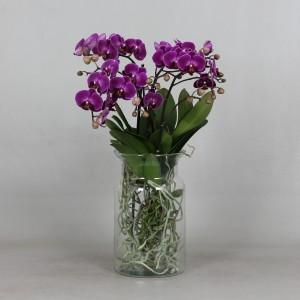 Phalaenopsis ANTHURA MORELIA